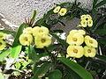 Euphorbia splendens imperatue-xavier cottage-yercaud-salem-India.JPG