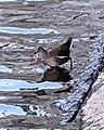 Eurasian Moorhen (Gallinula chloropus) - Oslo, Norway 2020-10-18.jpg