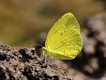 Eurema hecabe Linnaeus, 1758 – Common Grass Yellow.jpg
