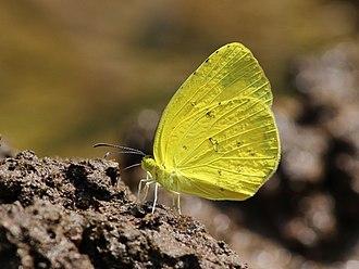 Eurema hecabe - Bangalore