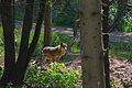 Europäischer Grauwolf (Canis lupus lupus) im Wolfcenter Barme (Dörverden) IMG 9114.jpg