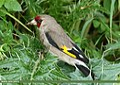 European Goldfinch (Carduelis carduelis) (37089389264).jpg