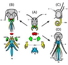 black and white drawing of different insect heads in frontal view, mouthparts with identical designations have the same color on all insect heads