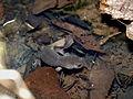 Ezo salamander エゾサンショウウオ Hynobius retardatus.jpg