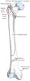 Fémur insertions musculaires face antérieure.png