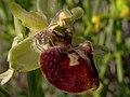 FLOR DE LA ARAÑA - Ophrys (14391669324).jpg