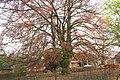 Fagus sylvatica 'Purpurea' JPG2a.jpg