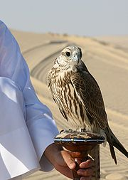 A Saker Falcon used for falconry in Qatar