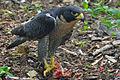 Falco peregrinus-Nova Scotia Canada-eating-face right.jpg