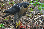 Falco peregrinus-Nova Scotia Canada-eating-face right.jpg