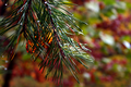 Fall-pine-tree-web - West Virginia - ForestWander.png