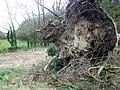 Fallen tree near The Green - geograph.org.uk - 1584338.jpg