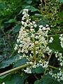 Fallopia japonica 002.JPG