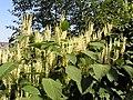Fallopia japonica MdE 2.jpg