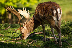 Fallow buck deer with palmate antlers in sunlight.jpg