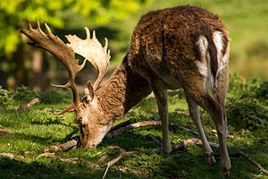 Fallow deer - Mature buck showing common darker colouring of a winter coat with lighter area around the tail