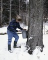 Farmer Burr Morse collects maple syrup from one of his thousands of trees in Montpelier, Vermont LCCN2011631238.tif