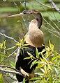 Female Anhinga.jpg