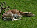 Female Antilope cervicapra in Howletts Wild Animal Park 2.jpg