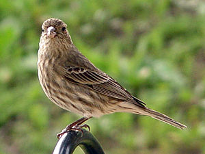 English: Carpodacus mexicanus (House Finch). V...