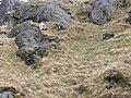 Feral goats - geograph.org.uk - 771893.jpg