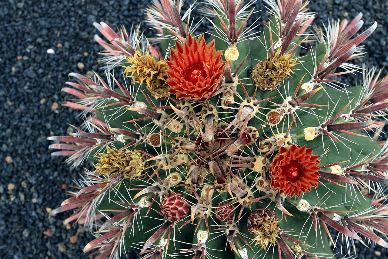File ferocactus townsendianus in jardin de cactus on for Jardineras de cactus
