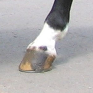 Horse markings - Ermine marks, seen here on the coronary band, just above the hoof.