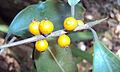 Ficus Microcarpa 12.JPG