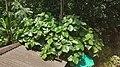 Ficus glomerata.jpg