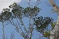 Ficus microcarpa var. nitida 2zz.jpg