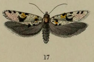 <i>Eurythecta robusta</i> species of insect