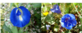 Figure 3 A – flower of butterfly pea (Cliteria ternatea), B – flower of Phacelia campanularia.png