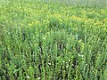 Filago vulgaris sl244.jpg