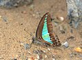 File; Common Bluebottle (Graphium sarpedon) (23834475904).jpg