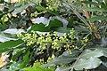 Filicium decipiens - Fern Tree at Theni.jpg