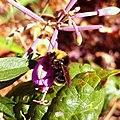 Fireweed Bumblebee Sleeping (226487631).jpeg