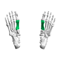 First metatarsal bone02 inferior view.png