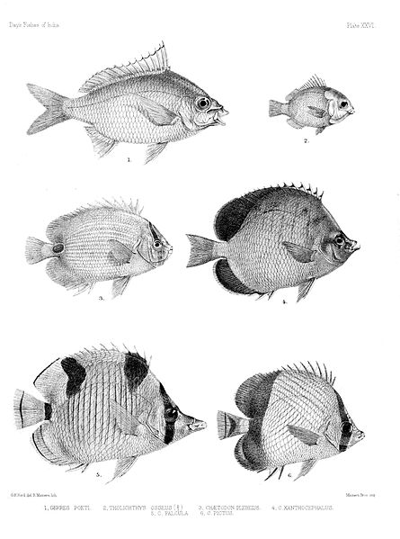 File:Fishes of India. Atlas. Plate XXVI.jpg