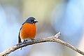 Flame Robin (Petroica phoenicea) (43914110462).jpg