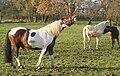 Flehmendes Pferd bei Altdorf.jpg