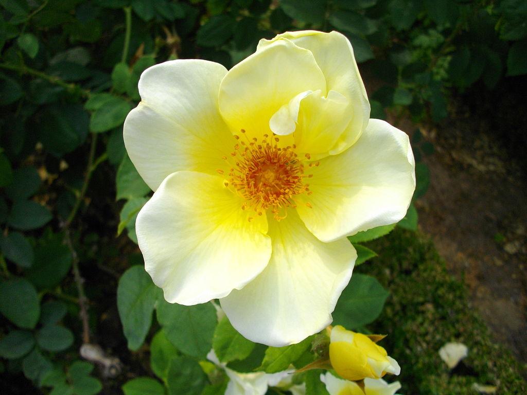 File:Fleur blanche centre jaune.jpg - Wikimedia Commons