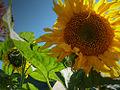 Fleur de soleil.JPG