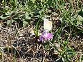 Fleur sauvage et papillon (1).JPG
