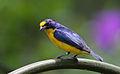 Flickr - Rainbirder - Yellow-throated Euphonia (Euphonia hirundinacea) male (1).jpg