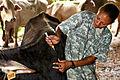 Flickr - The U.S. Army - Cow checkup.jpg