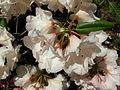 Flickr - brewbooks - Rhododendron - John M's garden.jpg