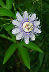 Flickr - ggallice - Purple Passionflower.jpg