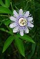 Flickr - ggallice - Purple Passionflower.jpg