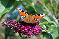 Flickr - ronsaunders47 - THE PEACOCK BUTTERFLY..jpg