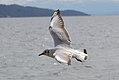 Fliegende Möve am Starnberger See (1).jpg